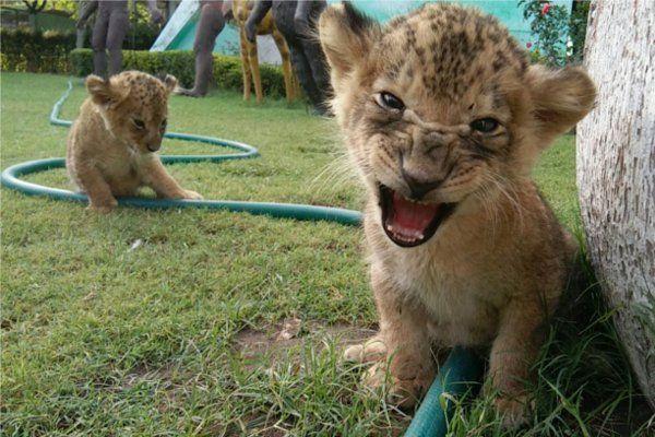 वीडियो में देखें कैसे हो रही नन्हे शेरों की ट्रेनिंग, 1 महीने बाद मिलेंगे परिवार से