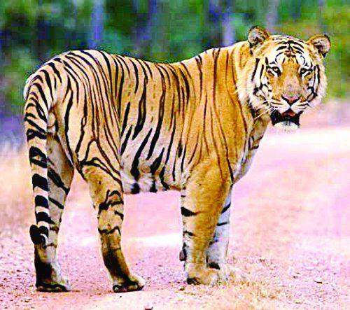बाघ को देख घर में दुबके ग्रामीण