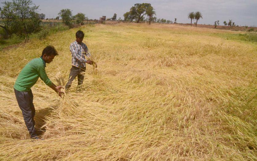 किसानों ने मेहनत पर फिरा पानी, तेज बारिश और हवा से खेतों में बिछ गई फसलें