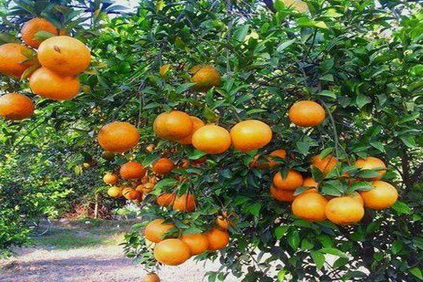इस रईस मुल्क में छाया हमारे यहां का संतरा