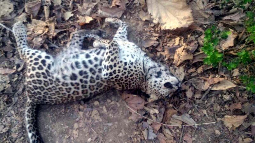 मादा तेंदुआ का शव अमरावद डैम नर्सरी के समीप मिला