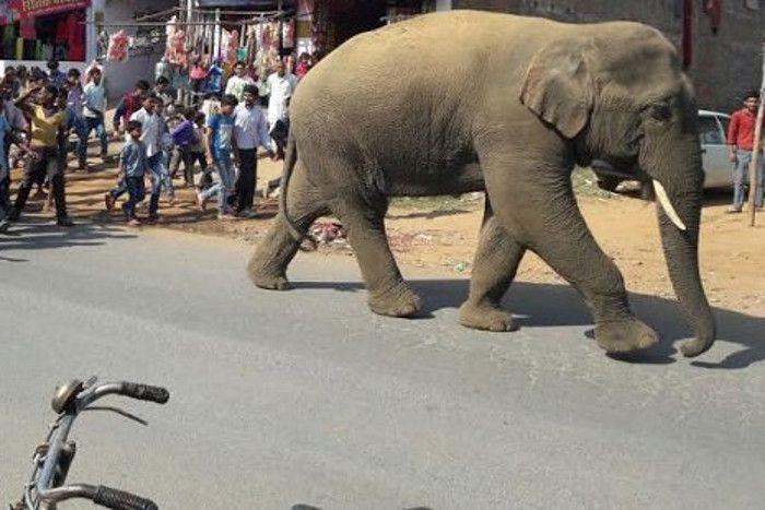 हाथी ने सूंड से पकड़ी परीक्षा दिलाने जा रहे छात्र की साइकिल, कूदकर बचाई जान