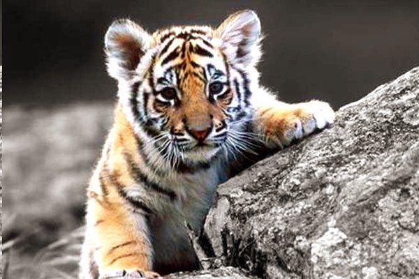 बड़ा खुलासा: बांधवगढ़ में इसलिए मारे गए टाइगर के शावक, हो सकती है CBI जांच