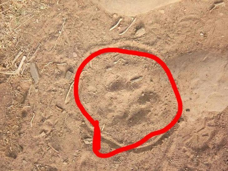 सावधान! किला पहाड़ी पर घूम रहा है तेंदुआ, पैरों के निशान मिले