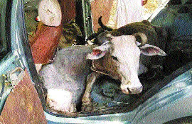 कार में गायों की तस्करी....