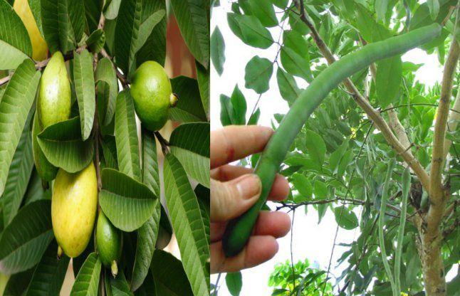 अमलतास की फलियां कई रोगों में उपयोगी, अमरूद के पत्ते छालों में लाभकारी