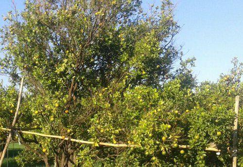 गर्मी से लोगों को राहत देने वाले फल की फसल पर संकट
