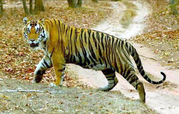 इस इलाके में है आदमखोर बाघिन की दहशत, किसान को बनाया शिकार