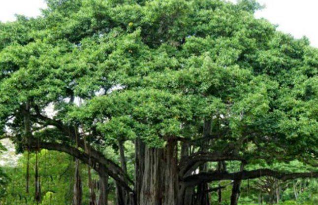 पुराने पेड़ों के संरक्षण पर मिलेगी राशि, बस यह करना होगा