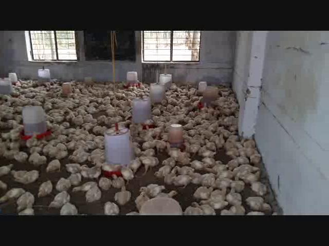 योगी जी, यूपी के इस स्कूल में नहीं दिखते बच्चे, बल्कि पल रही हैं मुर्गियां- देखें हैरान कर देने वाला वीडियो