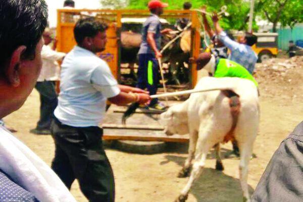 आवार पशुओं को पकड़नेफिर नगर निगम उतरा मैदान में