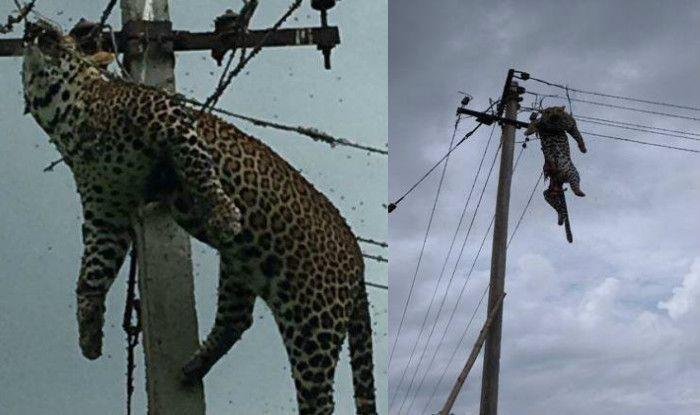 तेलंगाना: बिजली के खंभे पर चढ़ा तेंदुआ, करंट लगने से हुई मौत