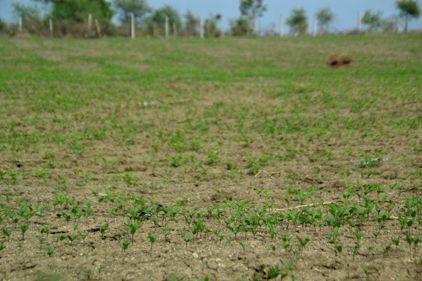 बोवनी के बाद और बोवनी के लिए किसानों को बारिश का इंतजार