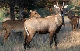 पंजाब में जंगली सुअर व नील गाय मारने की इजाजत