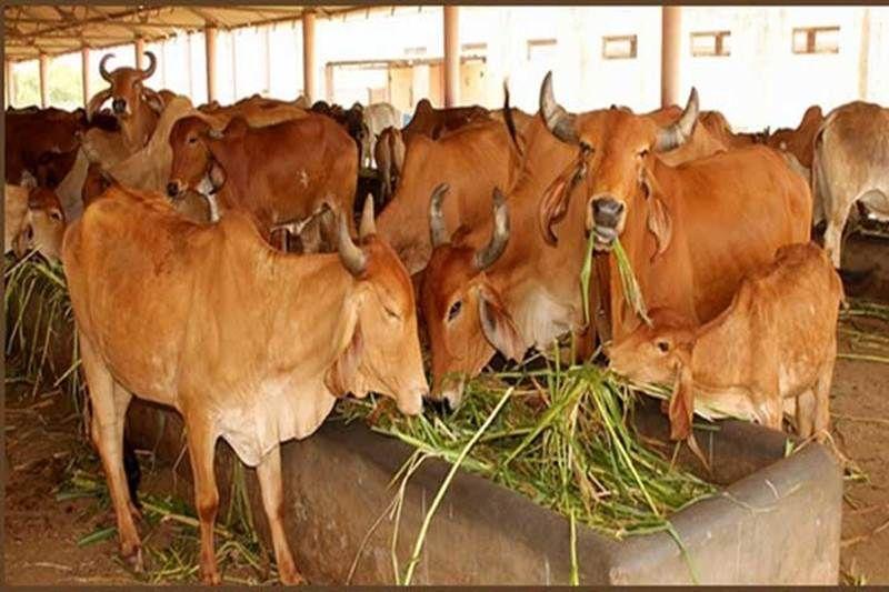 गौरक्षा के लिए बड़ी पहल, देश में पहली बार शुरू हुआ गायों का बीमा