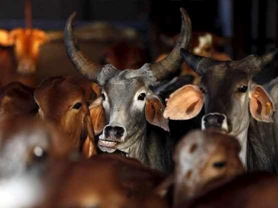 गाय की मदद से होगा HIV का इलाज, अमरीकी वैज्ञानिक बना रहे वैक्सीन