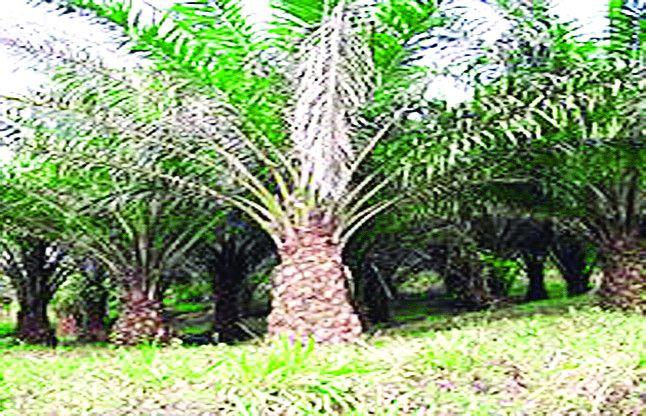 पारंपरिक फसलों की खेती से आगे बढ़ेंगे रायगढ़ के किसान अब उगाएंगे ऑयल पाम के पेड़