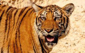 टाइगर क्यों है सबसे सुंदर और शानदार, जानिए रोचक तथ्य