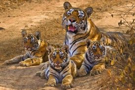 Tiger Story: Tiger Story News in Hindi, Breaking News, Photos