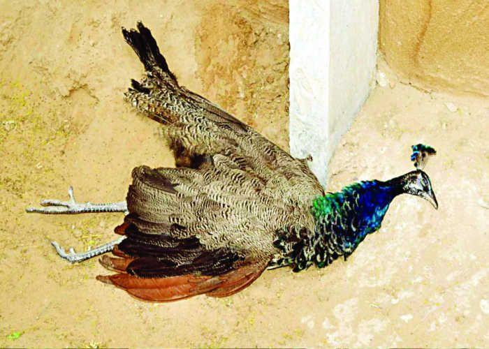 Peacock Dead Than Current - करंट से मोर मरा | Patrika News