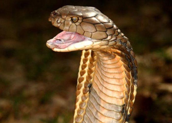 दिल्ली जू में रहेगा 14 फीट लंबा किंग कोबरा, राजस्थान वन विभाग ने सौंपा