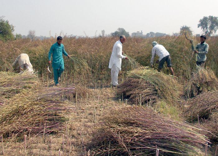 Farmers Engaged In Harvesting Mustard - सरसों कटाई में ...