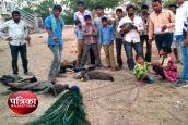 Video:जहरीले दाने डालकर 9 मोरों की हत्या, एक घायल