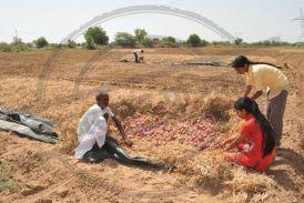 प्याज ने पहले रुलाया, अब 'सरकारी मरहम पट्टी' के बाद कितनी राहत... बता रहे हैं खुद जोधपुर के किसान