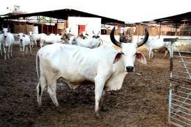 एचआर्इवीः गायों की ताकत से इंसानों का इलाज, अमरीकी वैज्ञानिक वैक्सीन बनाने के बेहद करीब
