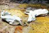 लापरवाही का शिकार हुई गायें, 30 दिनों में 50 मौतें