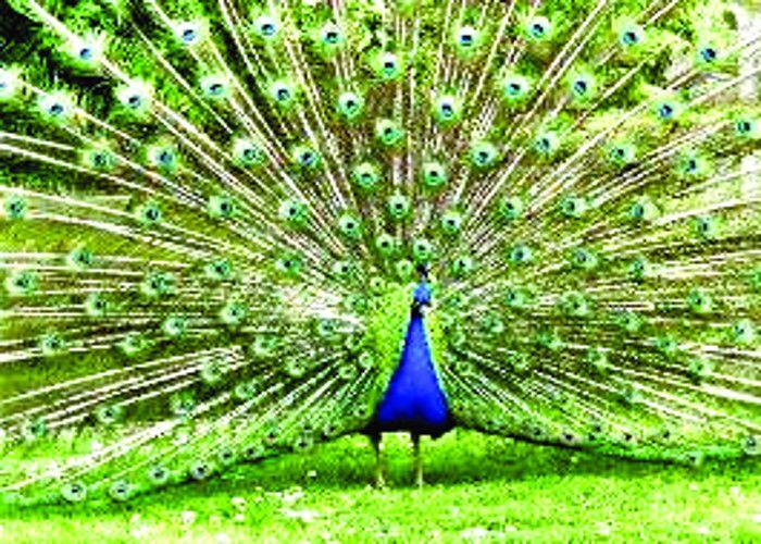Peacock Meat Ate To Roasted - भूनकर खाया मोर का ...