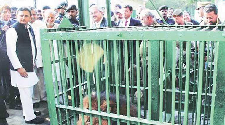 शेरों को बचाने के लिए Akhilesh yadav ने लिया तंत्र-मंत्र का सहारा